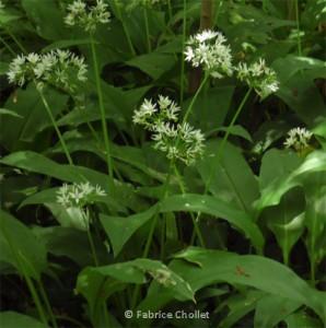 Allium_ursinum_02