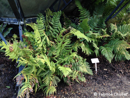 Onoclea sensibilis foug re plantes for Plantes ombre exterieur nord