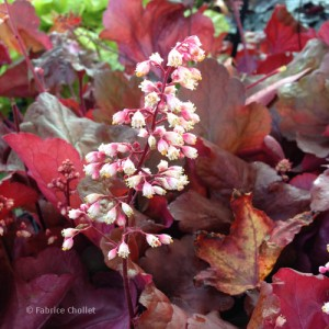 Heuchera_Fire_Alarm_01