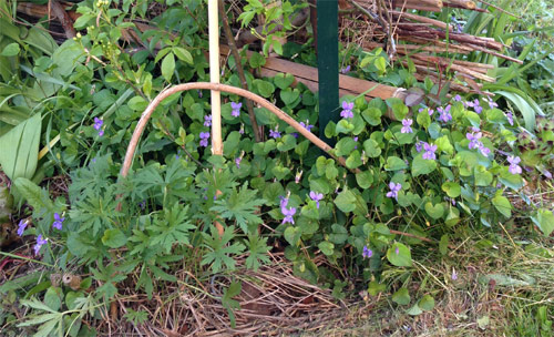 Une scénette de lisière : les violettes fleurissent du mois de mars au mois de mai, le Geranium vivace 'Summer Skies' (au premier plan à gauche) prend le relais à partir du mois de juin.