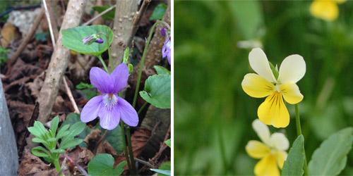 De gauche à droite, une violette puis une pensée.