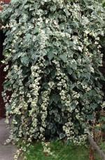 Hedera canariensis Gloire de Marengo