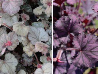 Heuchera plantes - Plante de balcon ombre ...