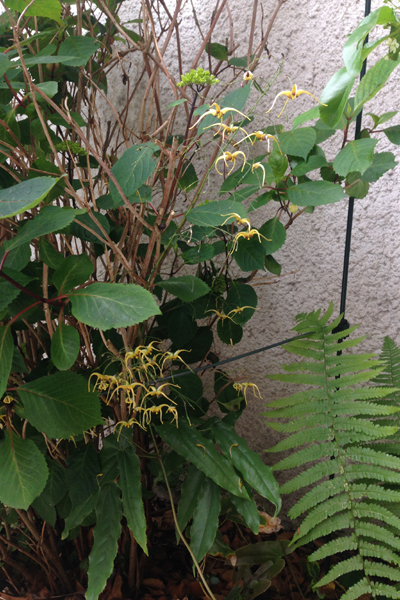 Epimedium wushanense 'The Giant'