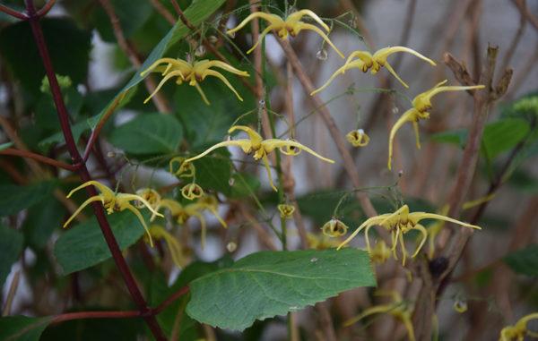 Epimedium wushanense 'The Giant'